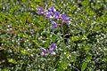 Fabaceae sp.-CTJ-IMG 7146.jpg