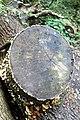 Fagales - Quercus robur - 8.jpg