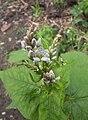 Fagopyrum esculentum, Boekweit bloemen (1).jpg