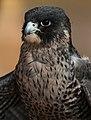 Falcon uae.jpg