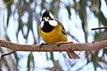 Falcunculus frontatus -Royal Botanic Gardens, Cranbourne, Australia -male-8.jpg