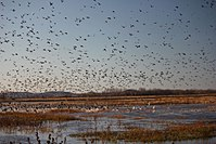 Fall migration at Clarence Cannon NWR (6366882263).jpg