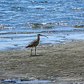 Far Eastern curlew tidal strand Sandgate Bramble Bay Queensland P1100844.jpg