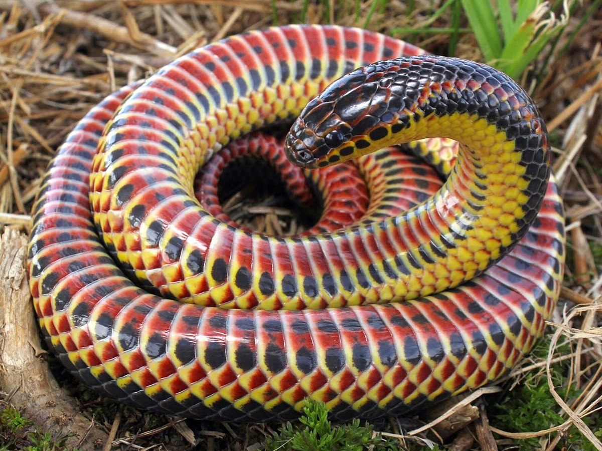 https://upload.wikimedia.org/wikipedia/commons/thumb/c/c3/Farancia_erytrogramma_%28rainbow_snake%29.jpg/1200px-Farancia_erytrogramma_%28rainbow_snake%29.jpg