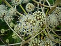Fatsia japonica.008 - Zapateira.jpg