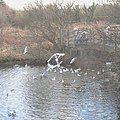 Feeding frenzy at the Lon Cob Bach Nature Reserve - geograph.org.uk - 664166.jpg