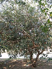 Feijoa sellowiana3.jpg