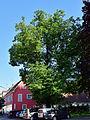 Feldbach - Naturdenkmal 513 - Winterlinde (Tilia cordata).jpg