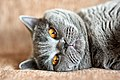 Female British Shorthair cat.jpg