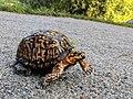 Female Eastern Box Turtle.jpg