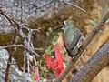 Female Hummingbird enjoying the Bearded Penstemon Upper Huachuca Canyon Sierra Vista AZ 2018-08-05 11-04-35 (43106620315).jpg