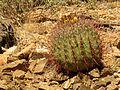Ferocactus wislizeni - treegrow.jpg