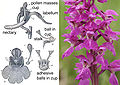 Fertilisation of Orchids figure 1R.jpg