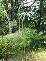 Ferula communis Habitus 2011-5-14 SierraMadrona.jpg