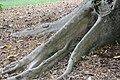 Ficus racemosa 13zz.jpg
