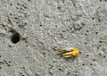 Fiddler Crab and its home.jpg