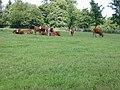 Field of cows, Hoath - geograph.org.uk - 488246.jpg