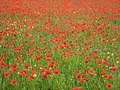 Field of poppies at Netherton - geograph.org.uk - 850215.jpg