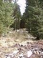 Firebreak Gummers How Plantation - geograph.org.uk - 141194.jpg