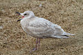 First winter Glaucous-winged gull with open bill.jpg