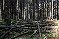 Firwood at Planken Wambuis Ede. A nice habitat for conifer mushrooms in moisty conditions and wood decay - panoramio.jpg