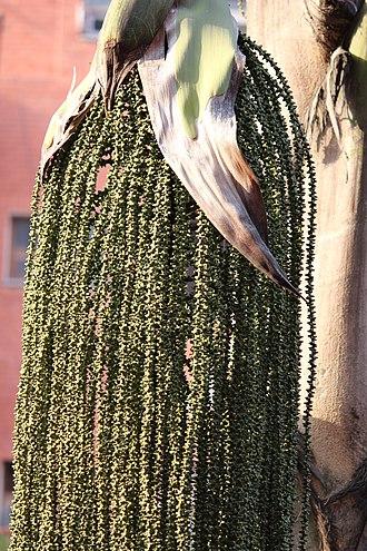 Caryota - Fishtail palm - close up