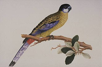 Northern rosella - Painting by Ferdinand Bauer c. 1811–1813