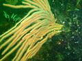 Flagellar sea fan at Glencairn Fan Gardens P9078444.JPG