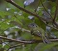 Flickr - Dario Sanches - BICO-CHATO-DE-ORELHA-PRETA (Tolmomyias sulphurescens) (1).jpg