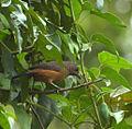 Flickr - Dario Sanches - TIÊ-SANGUE fêmea (Ramphocelus bresilius).jpg
