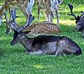 Flickr - Duncan~ - Deer at Bushy Park (1).jpg