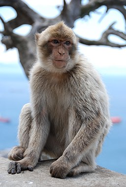 Flickr - Michael Gwyther-Jones - Monkey (3)