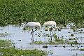 Flickr - ggallice - Whooping cranes.jpg