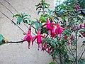 Flor del jardí del museu de Leimebamba02.jpg