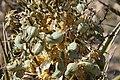 Flora in Riverside County, California (13994950107).jpg