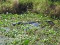 Florida- 11 Gator.jpg