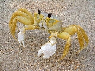 Ocypodidae family of crustaceans