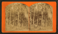 Florida palm, from Robert N. Dennis collection of stereoscopic views.png