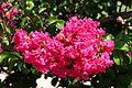 Flower-Crepe-Myrtle-2309.jpg