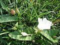 Flower and bud in creeper.JPG