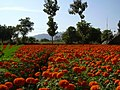 Flowers,hosur,tamilnadu - panoramio.jpg