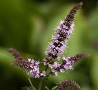 Flowers of Mentha × piperita.jpg