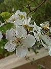 Flowers of Prunus dulcis.jpg
