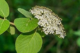 Flowers of Viburnum lantana 04.jpg
