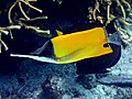 Forcipiger flavissimus - Longnose butterflyfish (11006661825).jpg