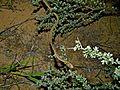Fork-marked Sand Snake (Psammophis leightoni trinasalis) (7027190353).jpg