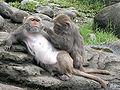 Formosan macaque.jpg