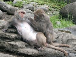 台灣獼猴。圖片來自:維基百科。
