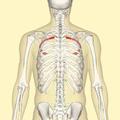 Fourth rib back.png