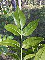 Fraxinus ornus (subsp. ornus) sl10.jpg